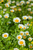 Marguerite en fleurs Photo stock