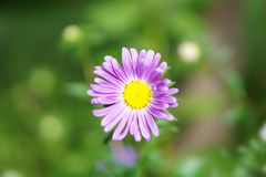 Marguerite en terre photographie stock