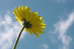 Marguerite et ciel jaunes de Gerbera Image libre de droits