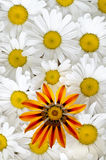 Marguerite et configuration de gazania Images stock