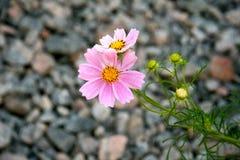 Marguerite et pierres roses Photographie stock libre de droits