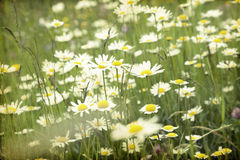 Marguerite field Stock Photography