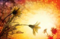 Marguerite, fleurs de lever de soleil de ressort Photo stock