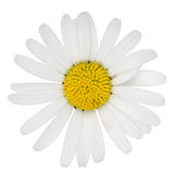 Marguerite flower Royalty Free Stock Photos