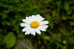 Marguerite flower Stock Photo