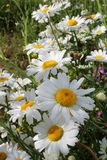 Marguerite, Flower, Green, Nature Royalty Free Stock Image