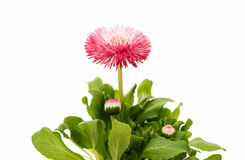 marguerite flower isolated Stock Photos