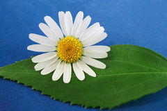 Marguerite flower and a leaf Royalty Free Stock Image