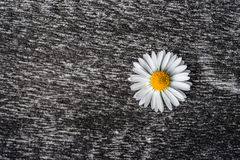 Marguerite flower on a rough surface stock image