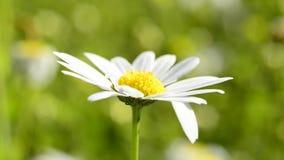 Marguerite flower, single flower stock video footage