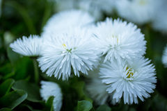 Marguerite flowers Royalty Free Stock Photography