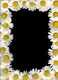 Marguerite flowers frame Stock Images