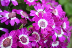 Marguerite flowers Royalty Free Stock Photos