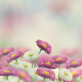 Marguerite Flowers Royalty Free Stock Images