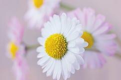 Marguerite, fond de vintage de fleurs Image libre de droits