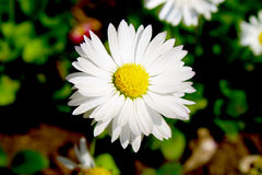 Marguerite in the garden. Beautiful white garden flowers background Royalty Free Stock Photos