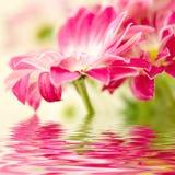 Marguerite-gerbera rose image libre de droits
