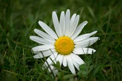 Marguerite in the Grass Royalty Free Stock Photo
