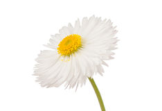 Marguerite isolated Stock Images
