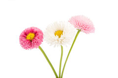Marguerite isolated Stock Photos