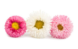 marguerite isolated Royalty Free Stock Images