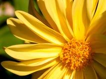 Marguerite jaune Photos stock