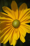 Marguerite jaune Image stock