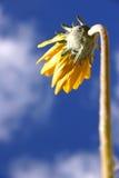 Marguerite jaune photo stock