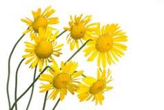 Marguerite jaune Photographie stock