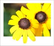 Marguerite jaune Photo libre de droits