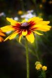 Marguerite jaune de fleur Photos stock