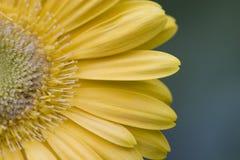 Marguerite jaune de Gerber Photographie stock libre de droits