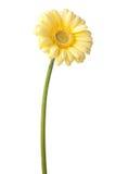 Marguerite jaune de gerbera Photos libres de droits