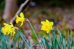 Marguerite jaune de ressort Photo libre de droits