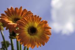 Marguerite jaune et orange vibrante de Gerber Image libre de droits