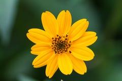 Marguerite jaune simple avec le fond vert Photographie stock libre de droits