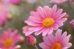 Marguerite kwiat Fotografia Royalty Free
