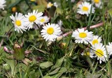 Marguerite kwiaty Obrazy Royalty Free
