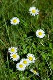 Marguerite kwiaty, mała stokrotka Obraz Royalty Free