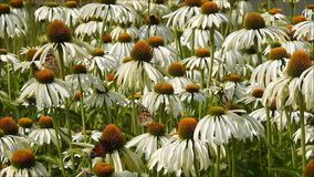 Marguerite meadow with butterflies and insects stock video footage