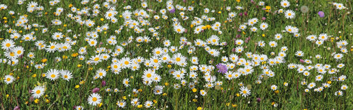 Marguerite meadow full bloom Royalty Free Stock Photos