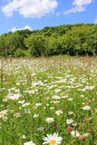 Marguerite meadow and wood, against blue sky Royalty Free Stock Image