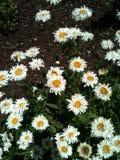 Marguerite minuscule blanche Images libres de droits
