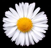 Marguerite moon daisy Royalty Free Stock Photos