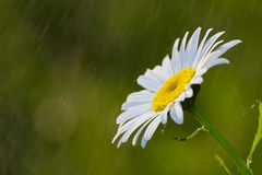 Marguerite na chuva Fotografia de Stock
