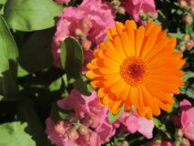 Marguerite orange Image libre de droits
