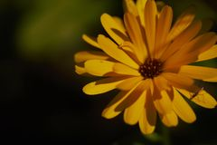 Marguerite orange Photographie stock