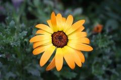 Marguerite orange Photo libre de droits