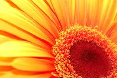 Marguerite orange Photographie stock