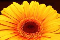 Marguerite orange image libre de droits